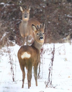 Young Roebuck - in the snow