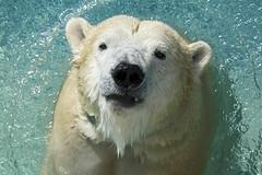 Anana (ucumari photography) Tags: ucumariphotography polarbear ursusmaritimus oso bear animal mammal nc north carolina zoo osopolar ourspolaire oursblanc eisbär ísbjörn orsopolare полярныймедведь anana dsc0860 march 2018 specanimal