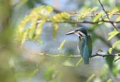 Common kingfisher (praveen.ap) Tags: common kingfisher commonkingfisher eurasian eurasiankingfisher river riverkingfisher veedur veedurdam villupuram tamilnadu