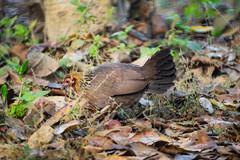 Female Jungle Fowl (fate atc) Tags: corbettnationalpark india indianative uttarakhand female forestfloor jungle male plummage primaryprogenitorofthedomesticchicken wildchicken wildfowl