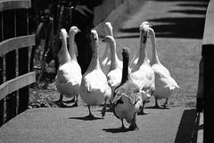 Goes (The Netherlands) - No bridge too far (Bjorn Roose) Tags: björnroose bjornroose goes nederland netherlands paysbas niederlände zeeland animals dieren gans goose birds vogels