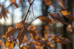 Eternal autumn (craigc1081) Tags: autumn leaf leaves cold winter brown uk browns forest fall nature wood woods morning tree trees alone isolated woodland landscape chilly dry bokeh crisp