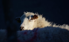 little lamb lost in the woods (talourcera) Tags: lamb lost perdido lostinthewoods littledoglaughedstories