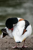 Preening shelduck (PChamaeleoMH) Tags: anatidae birds centrallondon london shelduck stjamesspark
