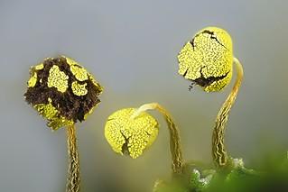 Vihersolmunen - Physarum viride - Slime mold