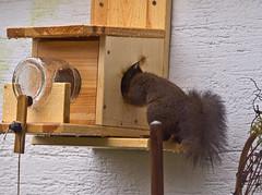 Noch was übrig? / Something left? (schreibtnix on 'n off) Tags: deutschland germany bergischgladbach tiere animals eichhörnchen squirrel sciurusvulgaris nahaufnahme closeup nochwasübrig somethingleft olympuse5 schreibtnix