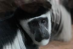 Black-and-White Colobus (K.Verhulst) Tags: franjeaap colobusaap blackandwhitecolobus blijdorp diergaardeblijdorp monkeys monkey rotterdam colobusmonkey