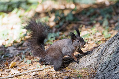 Cute  squirrel with nut in the mouth (Tambako the Jaguar) Tags: squirrel black rodent cute nut food tree root portrait giessenpark badradaz switzerland nikon d5