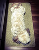 Bug On A Rug (PEEJ0E) Tags: rusty maltese dog indoors sleeping waiting patiently throw scatter rug rescue mutt