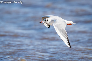 E7 Black-Head Gull