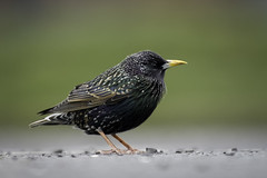 Starling (Rob Blight) Tags: starling bird wild wildlife flockingbird animal fauna outdoors d850 nikond850 200500 200500mm