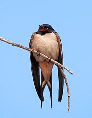 Golondrina común (Chusmaki) Tags: golondrina mzuiko75300mm aves ngc rivas madrid