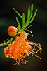 Bottle Brush (Roniyo888) Tags: bottle brush orange flower closeup shrub plant