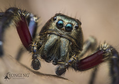 Gigantic Jumper; Male Hyllus diardi (Yongi Ng) Tags: hyllus salticidae jumpingspider spider micro43rd bigchelicerae golden singapore prp blueeyes depthoffield diardi hyllusdiardi malespider kingkong