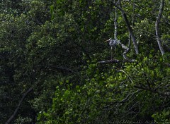 20180218-0I7A4002 (siddharthx) Tags: sungeibulohwetlandreservecanon7dmkiief100400mmf4556lisi singapore sg sungeibulohwetlandreserve canon7dmkii ef100400mmf4556lisiiusm nature landscape tree water wildlife migratorybirds vulnerable mangroves wetlands marsh nparksbuzz greyheron heron