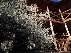 Tree (Anna Gelashvili) Tags: цветочки nutsubidzeplato tbilisi georgia дерево тбилиси tree blossom ხე ნუცუბიძისპლატო თბილისი საქართველო