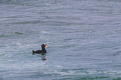 Surf Scoter (dennis_plank_nature_photography) Tags: montereypeninsula surfscoter california monterey aquarium birds nature trees waves