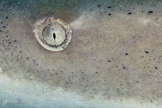 Lemon Shark Close-up