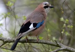 Jay (MoGoutz) Tags: jay bird lake volvi garrulus glandarius eurasian