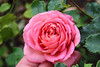 Rosa 'Jubilee Celebration' (David Austin - 2004l) - Kew Gardens-01 (Ruud de Block) Tags: rosaceae kewgardens ruuddeblock royalbotanicgardens rosa celebration rosajubileecelebration jubilee