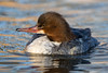 Goosander (Simon Stobart (Catching Up and Editing)) Tags: goosander female mergus merganser swimming water pond northeast england naturethroughthelens