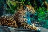 don't make a sound (Tony Shertila) Tags: chester england uptonbychester animals britain cat cheshire chesterzoo europe mammal jagua puma unitedkingdom gbr