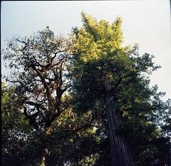 Humboltd Redwoods (120) (fgmachine) Tags: film analog kodakportra160 ferndalecalifornia homedeveloped c41 medium format zeiss ikon nettar 51816 zone focus redwoods humboltdredwoodsstatepark