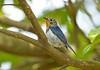 Cute Little Gem !!! (Anirban Sinha 80) Tags: nikon d610 fx 500mm f4 ed vrii g n bokeh bird sapphire looks forest colour