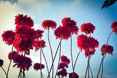 Red and Blue (hugo_celis) Tags: nikkor macro f35 55mm d5400 nikon flowers red blue