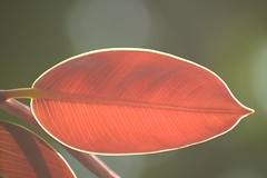 Afternoon glow (Vidya...) Tags: rubber plant afternoon sun maroon brown veins nature leaf