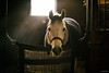stall light (Jen MacNeill) Tags: roze arabians arabian horse horses equine grey gray equestrian window light stall stable