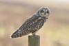 Short Eared Owl (j.arnold32) Tags: wildlife owl short eared