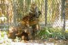Rocky and Jaggar (ucumari photography) Tags: ucumariphotography sumatrantiger pantheratigrissumatrae tiger cubs animal mammal jacksonville fl florida zoo hatefences march 2018 dsc1784 rocky jagger 3months