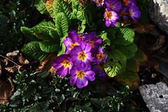 DSC_8932 (PeaTJay) Tags: nikon england uk gb royalberkshire reading winnersh flowers plants
