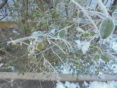 138 (en-ri) Tags: gelo inverno winter bianco verde sony sonysti cespuglio bush foglie leaves freddo cold