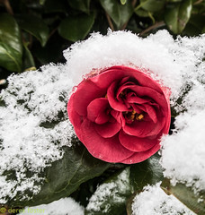 Camellia in a snow blanket (*derek*) Tags: camellia