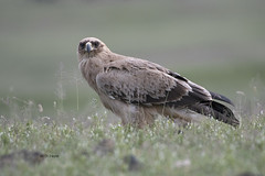 Tawny Eagle (featherweight2009) Tags: tawnyeagle aquilarapax eagles raptors birdsofprey birds africa