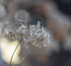 Hydrangea and march light. (agnieszka.a.morawska) Tags: macro dof bkhq beyondbokeh bokehlicious helios44m helios flower bokeh hydrangea
