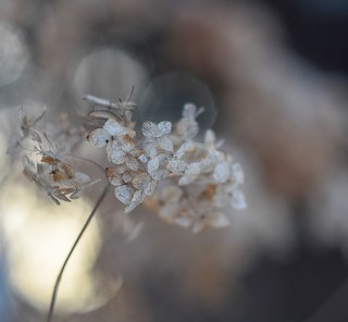 Hydrangea and march light.