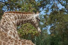 Girafa (Carlos Santos - Alapraia) Tags: ngc ourplanet animalplanet canon nature natureza wonderfulworld highqualityanimals unlimitedphotos fantasticnature girafa