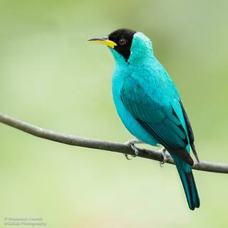 Green Honeycreeper (Male) - Chlorophanes spiza
