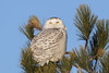 Snowy Owl (sspike@rogers.com) Tags: owl snowy steverossi wildlife nature ontario lake morning cold