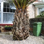 Fast Growing Date Palm Torquay thumbnail