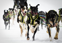 Dog Team (girltwin) Tags: fairbanks alaska usa mushing sled dog snow cold winter dogs race competition sprint crazy nikon girltwin neige white nieve schnee hund chiens perros
