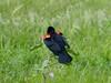 Red winged Blackbird (timber1212) Tags: redwingedblackbird coyotehills fremont california sing red weeds spring
