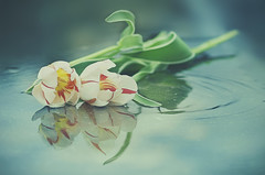 Synchronized swimming (charhedman) Tags: tulipsinaraincoveredpatiotable twins synchronizedswimming water rain flowers reflections double