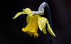 Winter In Spring (AnyMotion) Tags: daffodil narzisse osterglocke narcissus floral flowers blossom blüte plant pflanze snow schnee 2018 anymotion nature natur frankfurt garden garten 7d2 canoneos7dmarkii colours colors farben yellow gelb spring frühling primavera printemps ngc npc
