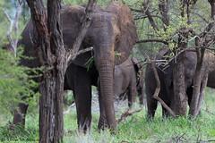 African Elepant (leendert3) Tags: leonmolenaar southafrica krugernationalpark wildlife nature mammals africanelephant ngc coth coth5 npc naturethroughthelens