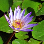 afternoon lily thumbnail