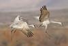 Sandhill Crane (Alan Gutsell) Tags: newmexico birds birding alan nature photo canon ponds nationalpark bosque del apache snow goose snowgoose sandhill crane sandhillcrane